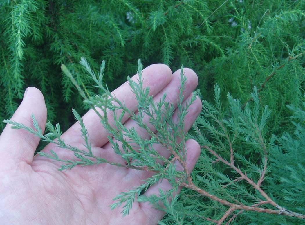 Можжевельник обыкновенный листья 100
